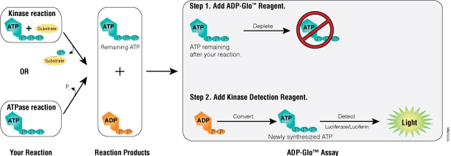 The ADP-Glo™ Assay Principle.