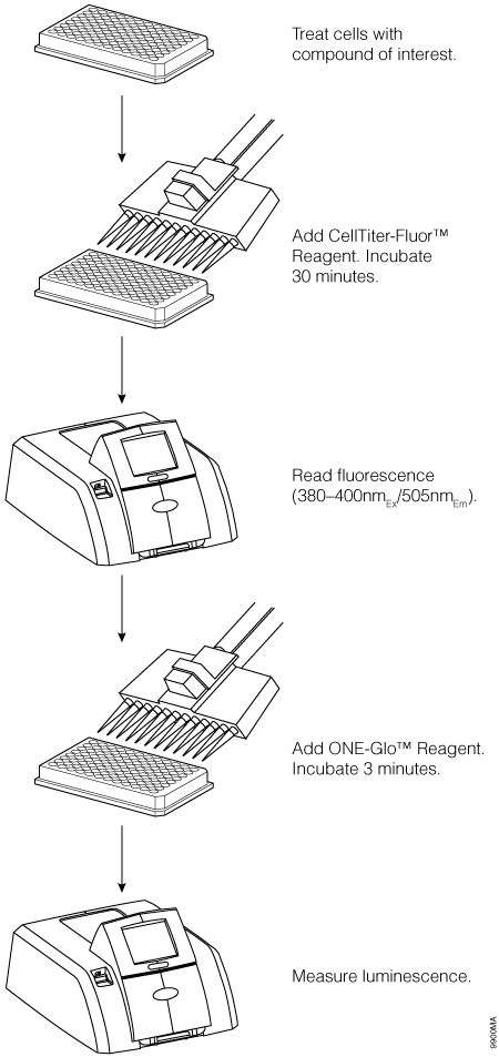 Schematic diagram of the ONE-Glo + Tox Luciferase Reporter and Cell Viability Assay.